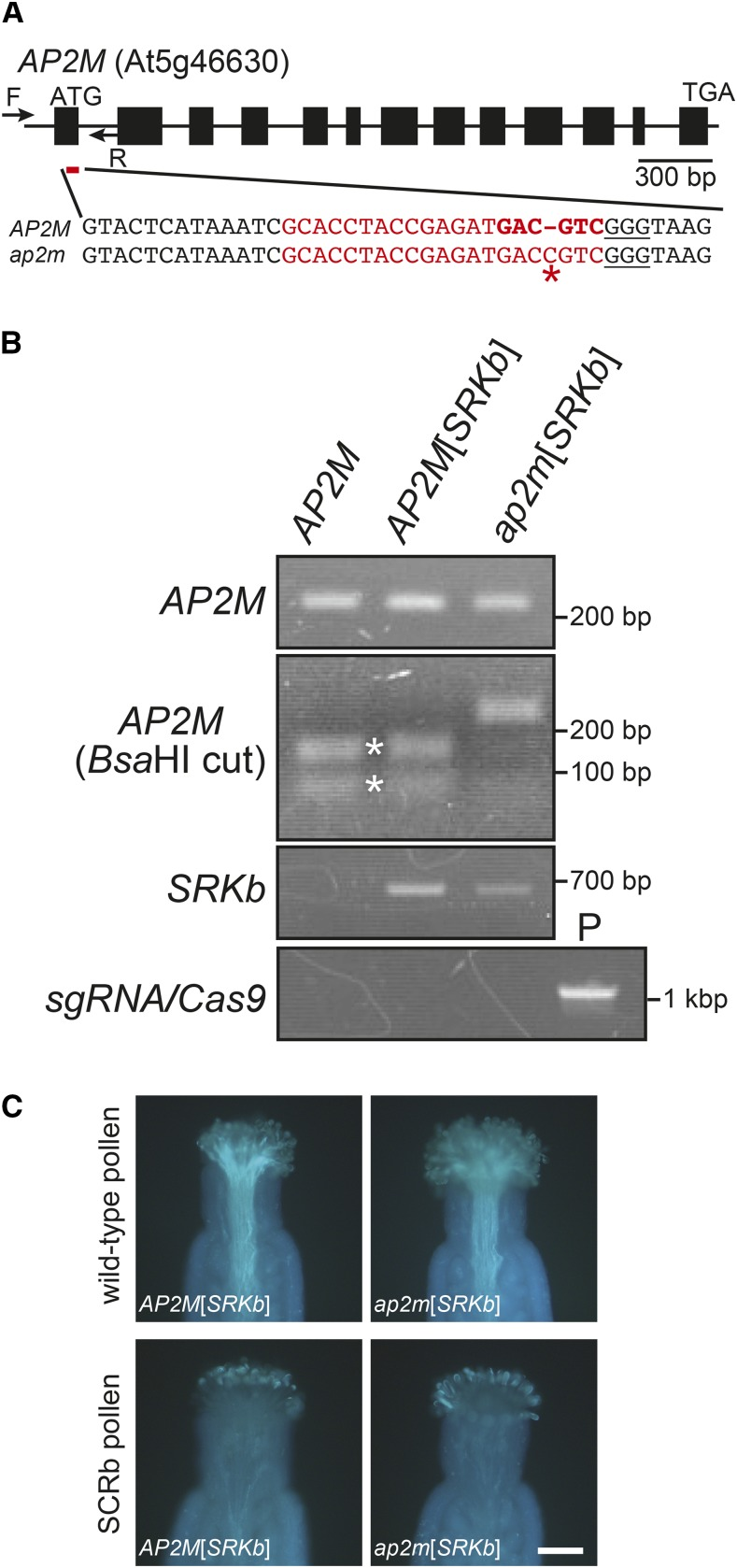 """A null ap2m mutation does not disrupt SRKb function and SI. (A) Structure of the AP2M gene and sequence of the CRISPR/Cas9 -targeted site. The AP2M gene structure is depicted with exons representing boxes and lines representing introns. Arrows represent annealing sites of the forward [F] and reverse [R] primers used for AP2M genotyping ( Figure 4B ) and the red line below the first exon shows the location of the targeted site. In the nucleotide sequences of the region containing the targeted site in wild-type ( AP2M ) and mutant ( ap2m ), the sequence of the sgRNA spacer is shown in red characters, the Protospacer Associated Motif (PAM) sequence GGG is underlined, and the Bsa HI restriction site is highlighted in bold red characters. The asterisk shows the cytosine insertion in ap2m that abolishes the BsaH1 restriction site. (B) Genotyping of AP2M , SRKb , and the CRISPR/Cas9 gene cassette in C24 untransformed wild-type C24 ( AP2M ), AP2M [ AtS1 pro :SRKb-FLAG+SCRb ] ( AP2M [ SRKb ]), and ap2m [ AtS1 pro :SRKb-FLAG+SCRb ] ( ap2m [ SRKb ]) plants. The AP2M PCR products (top panel) were digested with Bsa HI enzymes [ AP2M ( Bsa HI cut) panel]. The 162-bp and 81-bp digestion products are indicated by asterisks. Note that the AP2M fragments amplified from ap2m [ AtS1 pro AtS1 pro :SRKb-FLAG+SCRb ] DNA were not digested with Bsa HI. The presence of the AtS1 pro :SRKb-FLAG+SCRb transgenes was assessed by PCR with SRKb -specific primers ( SRKb panel), and the AP2MsgRNA-Cas9 gene cassette was detected by PCR using DNA of the AP2MsgRNA-Cas9 transformation plasmid as positive control (""""P"""" lane in the sgRNA-Cas9 panel). (C) Pollination phenotypes of ap2m [ AtS1 pro :SRKb-FLAG+SCRb] ( ap2m [ SRKb ]) mutant plants and AP2M [ AtS1 pro :SRKb-FLAG+SCRb ] ( AP2M [ SRKb ]) control plants. The images show the pollination responses toward pollen from untransformed wild-type C24 plants (upper panel) and SCRb pollen (lower panel). The genotype of stigmas used for pollination is indicated"""
