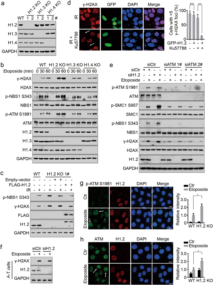 Linker histone H1.2 attenuates the ATM-dependent DNA damage response. a Immunoblots for H1.2, H1.3 and H1.4 protein levels in wild-type, H1.2, H1.3 or H1.4 KO HeLa cells. 1# and 2# indicate two clones which were generated using different sgRNAs. b Wild-type, H1.2, H1.3 or H1.4 KO (1#) HeLa cells were treated with 40 μM etoposide for 0, 30 and 60 min and analyzed by immunoblotting. c Wild-type and H1.2 KO (1#) HeLa cells were transfected with the indicated plasmids with or without exposure to 10 Gy IR and analyzed by immunoblotting 1 h post IR. d HeLa cells were transfected with GFP-H1.2 and exposed to 10 Gy irradiation (IR) with or without 2 h prior exposure to 2 μM Ku57788. Cells were collected 1 h post IR and subjected to immunofluorescent assay. Cells with > 5 γ-H2AX foci were counted. The data represent the mean ± SD. Scale bars, 10 μm. e HeLa cells were transfected with the indicated siRNAs and treated with 40 μM etoposide for 2 h and analyzed by immunoblotting. f A-T cells were transfected with the indicated siRNAs and treated with 40 μM etoposide for 1 h and analyzed by immunoblotting. g , h Wild type and H1.2 KO (1#) HeLa cells were mixed and then treated with 40 μM etoposide for 2 h or left untreated (Ctr) and analyzed by immunofluorescence. The intensity of ATM or phospho-ATM S1981 in the etoposide-treated wild-type cells was normalized to 1. The arrows indicate representative cells. All data represent the mean ± SD. Scale bars, 10 μm