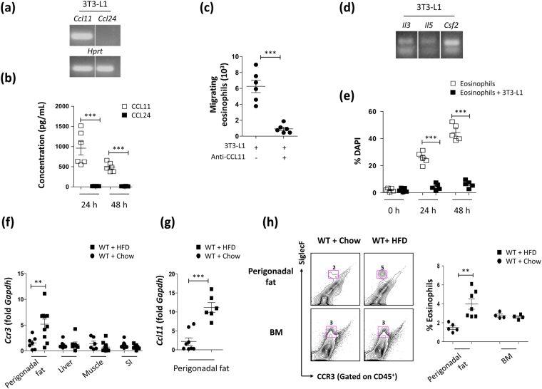 Adipocyte-derived molecules that support eosinophil migration and survival account for eosinophil infiltration in the perigonadal adipose tissue of high fat diet (HFD) fed mice. ( a ) mRNA expression of CC chemokine ligand 11 ( Ccl11 ) and Ccl24 in adipocyte-differentiated <t>3T3-L1</t> cells. Representative blots from 3 independent experiments. The full-length blots are presented in Fig. S6 . *** p