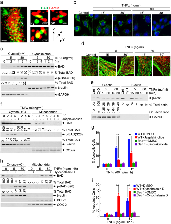 """Cytotoxic dose TNFα induces substantial BAD release from the cytoskeleton to the cytosol by promoting massive depolymerization of actin stress fibers. a Direct interaction between BAD and F-actin in actin stress fibers at the cytoskeleton was detected by super-resolution microscopy based on Ground State Depletion program. Actin stress fibers were stained with phalloidin - Green (Green color). BAD (Red color) was detected by immunofluorescence staining with anti-BAD antibody. Scale bar, 20 nm. b , c Cytotoxic dose TNFα significantly reduced the interaction of BAD with F-actin, as revealed by proximity ligation assay. Scale bar, 5 μm ( b ), and induced BAD release from the cytoskeleton to the cytosol, as determined by the cytosol [containing mitochondria, Cytosol(+M)] and cytoskeleton fractionation (see """"Materials and methods"""" for details) (Supplementary information, Figure S9g ) ( c ). d Cytotoxic dose TNFα induced massive depolymerization of actin stress fibers, as detected by double immunofluorescence staining. BAD, Red color; Actin, Green color. Scale bar, 1 μm. e WT fibroblasts were stimulated without or with cytotoxic or non-cytotoxic dose TNFα for various durations, as indicated. Cytosol [containing mitochondria, Cytosol(+M)] and cytoskeleton fractions were separated by ultracentrifugation. G-actin and F-actin were detected by immunoblotting with anti-β-actin antibody. Cells treated with Cytochalasin D (CyD; 1 μg/ml; 1 h) were used as positive control. ∞, infinity. GAPDH was used as cytosol marker. The results were quantitated by the ImageJ program. f – i WT and Bad −/− fibroblasts were pre-treated with DMSO or Jasplakinolide (30 nM) ( f , g ), Cytochalasin D (1 μg/ml) ( h , i ) for 1 h, followed by stimulation without or with cytotoxic or non-cytotoxic dose TNFα for various durations, as indicated. Phosphorylated BAD and BAD mitochondrial translocation were determined and quantitated as described in Fig. 1f ( f , h , Supplementary information, Figure S9h - S9i"""