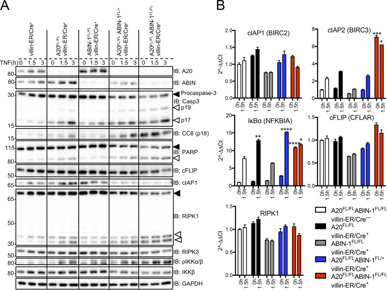 A20 and ABIN-1 double-deficient enteroids are sensitized to TNF-induced apoptosis. (A) Immunoblotting analyses of enteroid cultures treated with 4-OHT for 24 h followed by 2.5 ng/ml TNF for 0, 1.5, and 3 h. Cell lysates were immunoblotted with the antibodies indicated on the right. Solid arrow indicates full-length protein; open arrow indicates cleaved protein. (B) qPCR analyses of mRNA from enteroid cultures of the indicated genotypes after 24 h of 4-OHT treatment followed by stimulation for 0 or 90 min with 2.5 ng/ml TNF. Relative gene abundance was normalized to the mean expression of the housekeeping gene actb (mean ± SD). Statistical significance for individual transcripts was assessed by two-way ANOVA with Dunnett's multiple comparison test comparing each genotype to villin-ER/Cre − enteroids. *, P