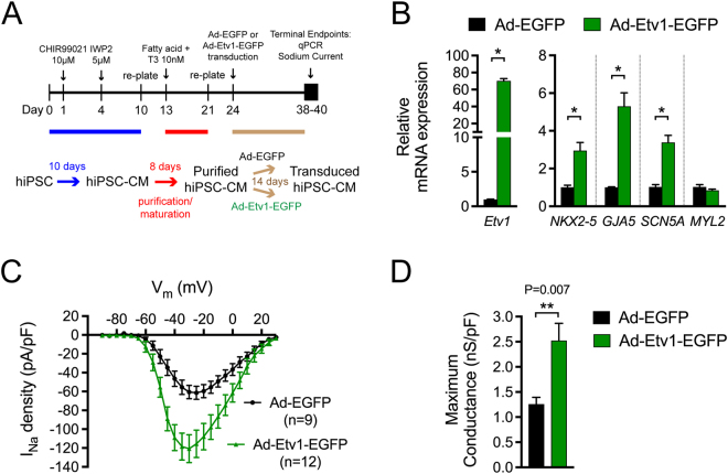 Activation of ETV1 in human induced pluripotent stem cells-derived cardiomyocytes (hiPSC-CMs) leads to increased expression of rapid conduction genes and sodium current. ( A ) Schematic representation of hiPSC-CM generation and maturation (day 0–21), transduction of Ad-Etv1-EGFP or Ad-EGFP (day 24), and timepoint for experimentation (day 38–40). ( B ) Quantitative RT-PCR analysis of Etv1 , NKX2–5 , GJA5 , SCN5A , and MYL2 in hiPSC-CM transduced with either Ad-Etv1-EGFP or Ad-EGFP (n = 4). ( C ) Whole-cell patch clamp was performed on Ad-Etv1-EGFP (n = 12) or Ad-EGFP (n = 9) transduced hiPSC-CMs. Sodium current–voltage (I–V) relationship comparison. ( D ) hiPSC-CM Na V peak conductance (gNa V -peak). gNa V -peak following −120 mV to −35 mV depolarization step was measured for Ad-Etv1-EGFP (n = 12) or Ad-EGFP (n = 9) transduced hiPSC-CMs. Data represent mean ± SEM. *P
