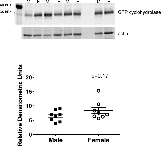 GTP cyclohydrolase expression is comparable in male and female SHR GTP cyclohydrolase 1 protein was measured by Western blot analysis in renal IM of vehicle control male and female SHR ( n =8). Data are shown normalized to actin.