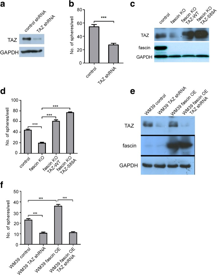 Fascin regulates melanoma sphere formation through TAZ. a WM793 cells were infected with control or TAZ shRNAs. Expression of TAZ was analyzed by Western blot. b Quantification of sphere numbers in control and TAZ knockdown WM793 cells. Data represented as mean ± SD; n = 3 (*** P