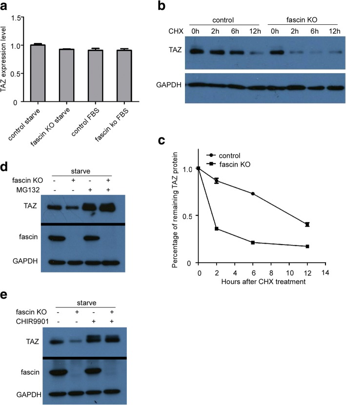 Fascin regulatesTAZ protein stability. a Quantitative RT-PCR analysis of TAZ mRNA level in WM793 control and WM793 fascin KO cells following culture in medium without/with serum overnight. b Western blot analysis of TAZ expression in WM793 control and WM793 fascin KO cells treated with cycloheximide (CHX). c Quantification of panel B represents TAZ degradation rate in WM793 control and WM793 fascin KO cells. d Immunoblotting analysis of WM793 control and WM793 fascin KO cells after serum starvation overnight and treatment with MG132 (1 μM) for indicated times. e Western blot analysis of WM793 control and WM793 fascin KO cells following serum starvation overnight and then treatment with GSK-3β inhibitor CHIR0091 (2 μM) for 12 h