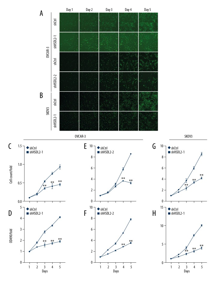 HSDL2 knockdown inhibited cell proliferation in the human ovarian cancer cell lines as assessed by the Cellomics ArrayScan VTI and MTT assays. ( A, B ) Representative images of OVCAR-3 ( A ) and SKOV3 ( B ) cells infected with shCtrl lentivirus ( top ), shHSDL2-1, or shHSDL2-2 lentivirus ( bottom ) at different time points. ( C, E, G ) Proliferation of OVCAR-3 ( C, E ) and SKOV3 ( G ) was significantly blocked when HSDL2 expression was inhibited. The results are presented as the mean ±SD of 3 separate experiments. (** P