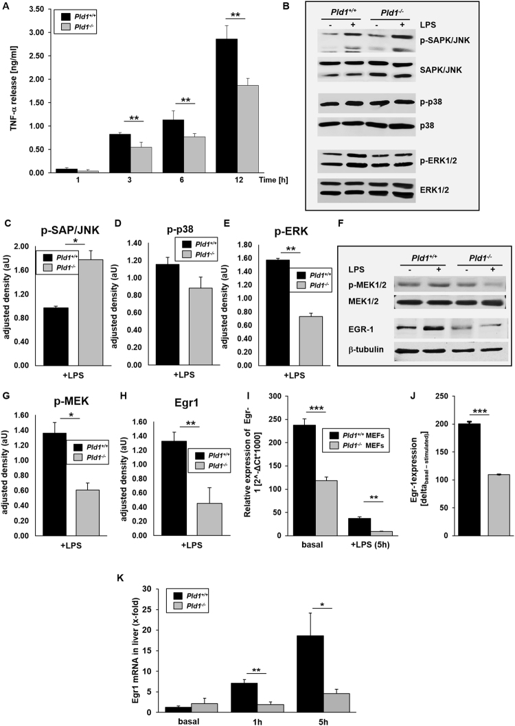PLD1 modulates <t>TNF-α</t> expression and release via phosphorylation of MEK1/2 and ERK1/2. MEFs from Pld1 +/+ and Pld1 −/− mice were stimulated with 1 mg/ml LPS for indicated time points. ( A) TNF-α release into the supernatant of MEFs after LPS stimulation was measured by <t>ELISA.</t> ( B – E ) Phosphorylation of SAPK/JNK, p38 and ERK1/2 was detected by Western blot after stimulation of MEFs with LPS for 30 min. and quantified via adjusted density using ImageJ. Same samples for quantification of total protein expression were used but applied to different gels/membranes. Cropped blots are shown. ( F – H ) Phosphorylation of MEK1/2 and protein abundance of EGR-1 was detected after LPS stimulation of MEFs for 30 min. using Western blot analysis and quantified via adjusted density using ImageJ. B-tubulin serves as loading control for the detection of EGR-1. Cropped blots are shown. ( I ) Egr-1 expression in MEFs was analyzed by qRT-PCR 5 hrs. after LPS stimulation. ( J ) ΔEgr-1 expression (basal-stimulated) of Pld1 +/+ and Pld1 −/− MEFs. N = 5. ( K ) Egr-1 expression in the liver of PLD1 deficient and control mice was determined by qRT-PCR. N = 9. Bar graphs depict mean values ± s.e.m. *P