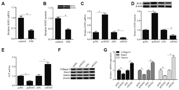 SOX5 overexpression inhibited osteogenic differentiation of hMSCs SOX5 mRNA and protein expression were examined by qRTPCR (A) and western blotting (B) in cells cultured with OM for 0 days (control) and 14 days (OM). Cells were transfected with recombinant plasmid pcDNA3.1/SOX5 (pcSOX5) and its negative control plasmid (pcNC), or SOX5 siRNA (siSOX5) and its negative control (siNC) for 15 h, after which the medium was replaced with OM for 14 days. The efficiency of transfection was evaluated by qRT-PCR (C) and Western blotting (D). ALP activity was detected by a commercial Alkaline Phosphatase Detection Kit (E). The genes expression of osteogenic marker including Collagen I, Runx2 and Osterix were examined by Western blotting (F) and qRT-PCR (G). Data are expressed as the mean ± SD, n = 3. *P