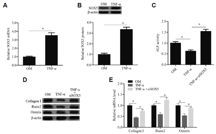 TNF-α induced SOX5 gene expression during osteogenic differentiation of hMSCs The SOX5 mRNA and protein expression were examined by qRT-PCR (A) and western blotting (B). ALP activity was detected by a commercial Alkaline Phosphatase Detection Kit (C). The genes expression of osteogenic marker including Collagen I, Runx2 and Osterix were examined by Western blotting (D) and qRTPCR (E). TNF-α: cells were cultured with OM containing TNF-α; TNF-α+siSOX5: cells were transfected with SOX5 siRNA and then cultured with OM containing TNF-α. Data are expressed as the mean ± SD, n = 3. *P
