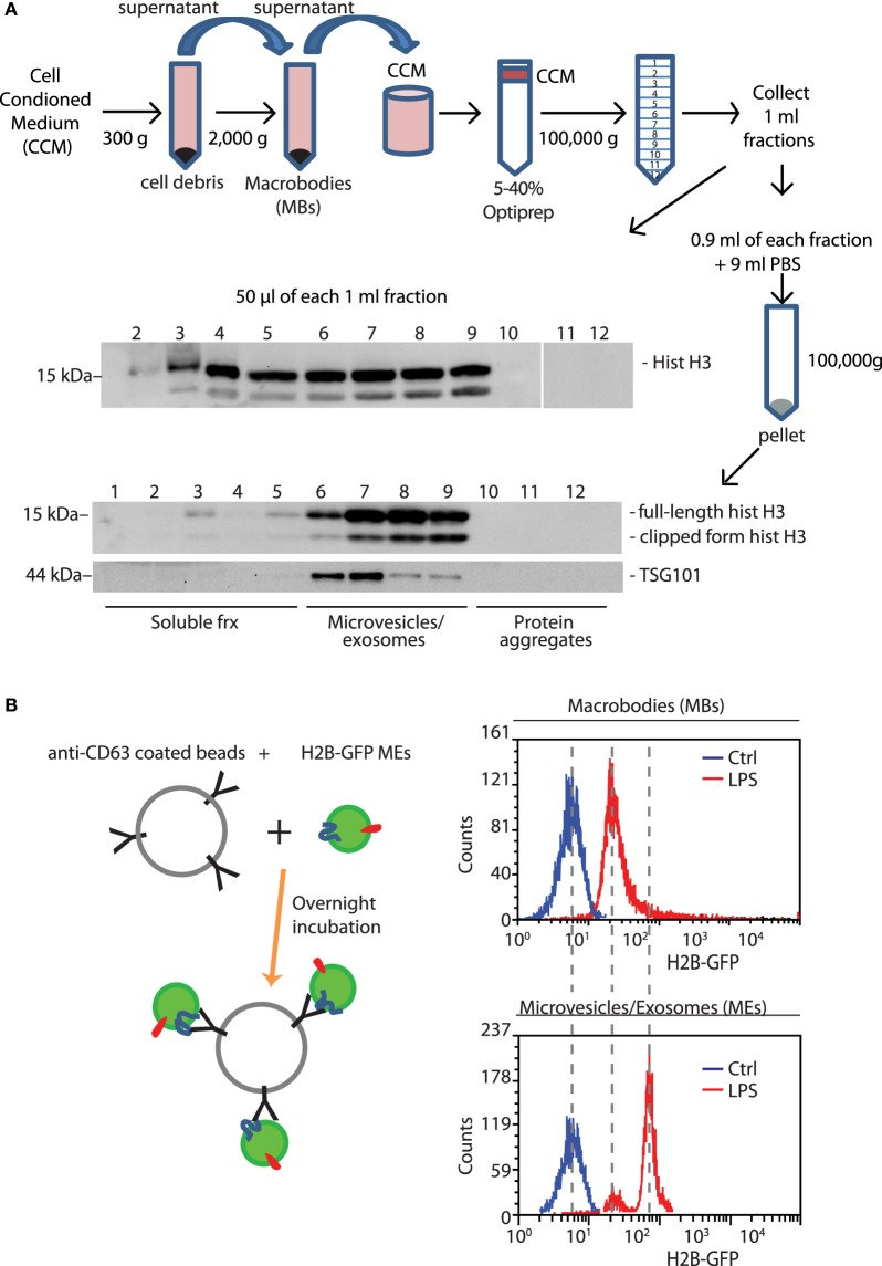 Histones lost from LPS-challenged BMDMs are released into the medium, in soluble and EV-associated forms. (A) The supernatant of BMDMs challenged with LPS for 4 h was collected, centrifuged to eliminate cell debris, and then large vesicles that were retrieved separately [macrobodies (MBs)]. The concentrated cell-conditioned medium (CCM) was then loaded onto a discontinuous Optiprep density gradient. Twelve fractions were collected, and an aliquot was tested by Western blotting for the presence of histone H3; the remainder was centrifuged, and the pellets were dissolved in hot SDS-PAGE loading buffer. Microvesicles and exosomes (MEs)-containing fractions were identified by the presence of TSG101, a membrane marker ( 19 ). One representative experiment, of four performed, is shown. (B) Extracellular vesicles in supernatants of <t>H2B-GFP-expressing</t> BMDMs were trapped by beads coated with anti-CD63 antibodies; beads were analyzed for GFP fluorescence by flow cytometry. MEs contain distinctly more H2B-GFP than macrobodies ( n = 3, t -test, * p