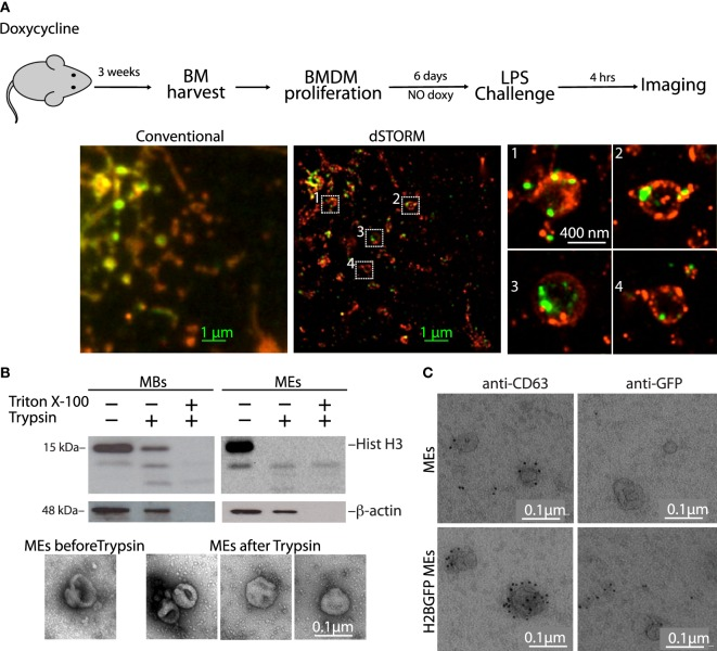 Histones are present on the outer surface of microvesicles and exosomes (MEs). (A) H2B-GFP mice were exposed to doxycycline to induce H2B-GFP expression. Three weeks later, the mice were sacrificed and their bone marrows were harvested and cultured without doxycycline. In this way, bone marrow-derived macrophages (BMDMs) only contained H2B-GFP synthesized several weeks earlier, and all H2B-GFP was chromatin-associated. H2B-GFP BMDMs were then challenged with LPS, and imaged by stochastic optical reconstruction microscopy. H2B-GFP is green; cell membranes were stained red with concanavalin A-TRITC. Zooms of the regions inside the white squares are shown. (B) Western blot of macrobodies and MEs treated with trypsin in the presence or not of detergent (Triton X-100). The electron micrographs show representative MEs before and after trypsinization. (C) Transmission electron microscopy images of exosomes from LPS-challenged BMDMs, either from wt or H2B-GFP mice, immunostained for CD63 and GFP. Scale bars: 0.1 µm. Figure S6 in Supplementary Material shows electron micrographs of extracellular vesicles immunostained for histone H2A and H3.
