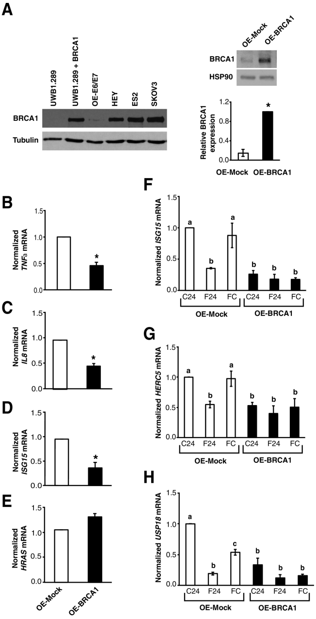 Increased BRCA1 expression inhibits expression of NFκB target genes and alters the impact of FF exposure on expression of ISG15 and its interacting partners. (A) Left: Representative Western blot showing BRCA1 protein levels in OE-E6/E7 cells compared to ovarian cancer cell lines. UWB1.289 and UWB1.289+BRCA1 cells were used as a negative and positive control respectively. Right: Representative Western blot and comparison of BRCA1 levels in OE-Mock and OE-BRCA1 cells. Levels of HSP90 are shown as a loading control. Bars represent the mean ± SEM of three independent experiments relative to levels measured in OE-BRCA1 cells. * P =.0075, one-sample t test. (B-E) Comparison of TNFα (B), IL8 (C), ISG15 (D), and HRAS (E) transcript levels in OE-Mock and OE-BRCA1 cells as determined by RT-qPCR. Bars represent the mean ± SEM of three independent experiments relative to levels measured in OE-Mock cells. * P