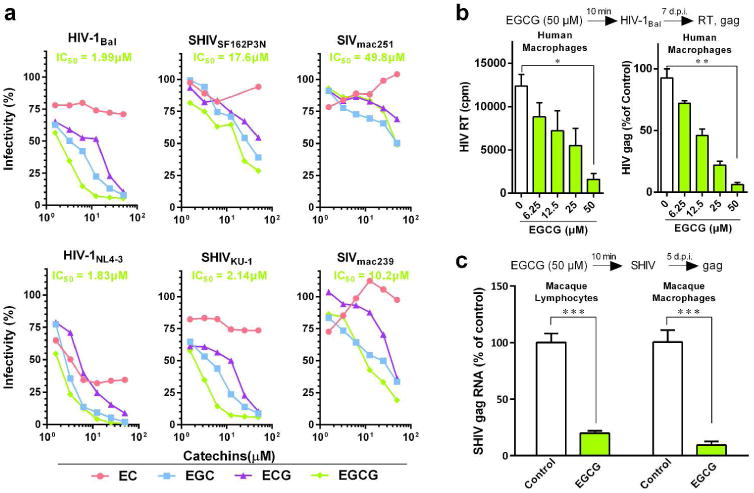 EGCG inhibits viral infectivity of a broad spectrum of AIDS-related viruses. (a) TZM-bl cells were treated with the indicated concentrations of green tea-derived catechins (EC, EGC, ECG and EGCG) for 10 min prior to infection with different strains of HIV-1 (Bal, NL4-3), SHIV (SF162P3N, KU-1), or SIV (mac239, mac251). Viral infectivity was assessed by luciferase activity, which is expressed as a percentage relative to that of the control (untreated). The half maximal inhibitory concentration (IC 50 ) of EGCG is indicated, which was calculated based on the untreated control by the method of Reed and Muench. (b) Human peripheral blood monocyte-derived macrophages were incubated with the indicated doses of EGCG for 10 min prior to HIV-1 Bal infection. Culture supernatant was collected on day 7 post-infection for HIV-1 reverse transcriptase (RT) assay. Cellular RNA was subjected to the real time RT-PCR for HIV-1 gag and GAPDH RNA. Data are expressed as HIV-1 RNA levels relative (%) to untreated control, which is defined as 100%. (c) Primary lymphocytes and macrophages from rhesus macaques were treated with or without EGCG (50 μM) for 10 min prior to SHIVSF162P3N infection. Intracellular gag RNA was measured by the real time PCR at day 5 post infection. Data are shown as mean ± SD, representative of three independent experiments with 3-4 replicates. * P