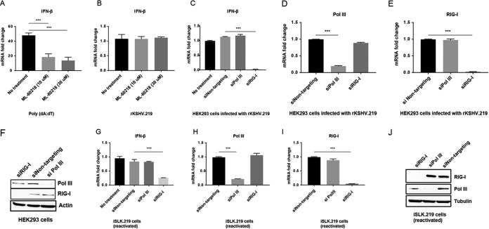 RNA Pol III is not required for IFN-β expression during KSHV primary infection or reactivation. (A and B) HEK293 cells in 24-well plates were treated with the indicated concentrations of the RNA Pol III inhibitor ML-60218. Eight hours after treatment, cells were transfected with poly(dA·dT) for 6 h (A) or infection with rKSHV.219 for 48 h (B), IFN-β mRNA level was measured by qRT-PCR. (C to F) HEK293 cells in 24-well plates were transfected with siRNAs targeting RNA Pol III or RIG-I. Twenty-four hours posttransfection, cells were infected with rKSHV.219 for 48 h. The relative expression levels of IFN-β (C), RNA Pol III (D), and RIG-I (E) normalized to β-actin were measured by qRT-PCR. (F) Western blotting showing efficient knockdown of RNA Pol III or RIG-I in HEK293 cells. (G to J) iSLK.219 cells latently infected with rKSHV.219 were transfected with nontargeting control, RNA Pol III, or RIG-I siRNA. Twenty-four hours after siRNA transfection, doxycycline was added to reactivate the iSLK.219 cells. At 72 h postreactivation, the relative expression levels of IFN-β (G), RNA Pol III (H), and RIG-I (I) normalized to β-actin were measured by qRT-PCR. (J) Western blots showing efficient knockdown of RNA Pol III or RIG-I in iSLK.219 cells. Data are presented as means plus standard deviations (SD). Error bars represent the variation range of duplicate experiments. The data are representative of three independent experiments. Values that are statistically significantly different are indicated by bars and asterisks as follows: **, P