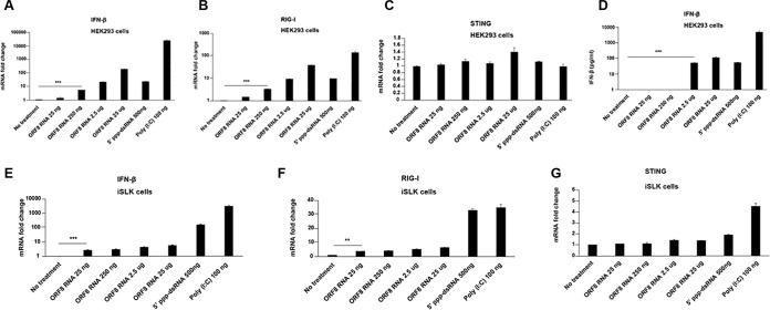KSHV ORF8 10420-10496 RNA induces IFN-β and RIG-I in RNA-transfected cells. (A to D) HEK293 cells in 24-well plates were transfected with 5′-ppp-dsRNA or poly(I⋅C) (positive controls), or with the indicated concentration (in nanograms or micrograms) of ORF8 10420-10496 RNA or not transfected (no-treatment control). At 24 h after transfection, cells were harvested for RNA extraction. The relative mRNA levels of IFN-β (A), RIG-I (B), and STING (C) normalized to β-actin were measured by qRT-PCR. The IFN-β protein level was measured by ELISA from the culture supernatants (D). (E to G) Uninfected iSLK cells in 24-well plates were transfected with 5′-ppp-dsRNA or poly(I·C) (positive controls) or with the indicated concentration of ORF8 10420-10496 RNA or not transfected (negative control). At 24 h after transfection, cells were harvested for RNA extraction. The relative mRNA levels of IFN-β (E), RIG-I (F), and STING (G) normalized to β-actin were measured by qRT-PCR. Data are presented as mean plus SD. Error bars represent the variation range of duplicate experiments. The data are representative of three independent experiments. **, P