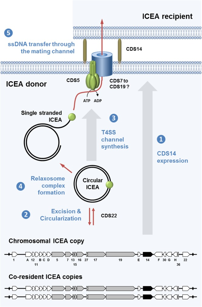 Overview of conjugative ICE transfer in M. agalactiae . This schematic illustrates the 5 key steps in ICEA transfer based on current knowledge in other bacteria ( 1 , 18 ). Under normal conditions, ICEA copies are found integrated into the host chromosome and most ICEA genes are not expressed. Among the few proteins expressed by chromosomal ICEAs is the CDS14 lipoprotein, which is surface exposed and plays a critical role in initiating the conjugative process (step 1). When ICEA gene expression is induced, under specific cellular conditions or stochastically, the cis -acting DDE transposase is produced and one of the three ICEA copies excises from the chromosome and forms a circular double-stranded DNA (dsDNA) molecule (step 2). ICEA circularization induces the expression of the conjugative module, whose products assemble into the mating pore, a simplified form of type IV secretion system (T4SS) found in more-complex bacteria (step 3). A protein complex known as a relaxosome recognizes the origin of transfer ( oriT ) on the circular ICEA, and a relaxase generates a linear single-stranded DNA (ssDNA) by nicking the ICEA DNA (step 4). Finally, the relaxosome complex interacts with the TraG-like (VirD4 homologue) energetic component found at the inner side of the membrane that facilitates the transfer of the ssDNA bound to the relaxase through the mating channel (step 5). Once in the recipient strain, the ICEA recircularizes, becomes doubly stranded, and integrates randomly into the host chromosome. The minimal functional ICEA encompasses 80% of the coding sequence and includes a gene cluster ( cds5 to cds19 , encoding proteins with transmembrane domains) that most likely represents a module associated with the conjugative channel. Additional essential ICEA determinants included the CDS14 surface lipoprotein, the CDSG putative partitioning protein, and the DDE transposase (CDS22), together with several proteins of unknown function (CDS1, CDSA, CDSC, and CDS30).