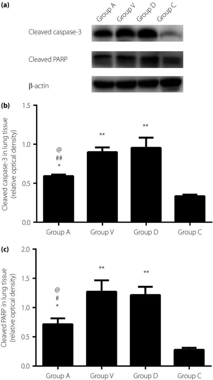 (a) Cleaved caspase‐3 and cleaved poly (adenosine diphosphate‐ribose) polymerase ( PARP ) in lung tissue measured by western blotting. (b) Cleaved caspase‐3 (** P