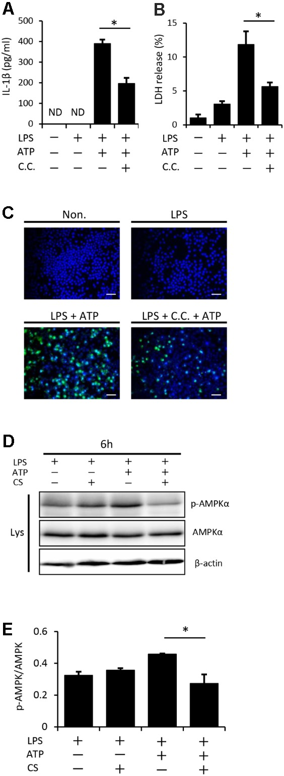 Cyclic stretch inhibits NLRP3 inflammasome activation and is partially dependent on the adenosine monophosphate-activated protein kinase (AMPK) signaling pathway. J774.1 cells were primed with 100 ng/ml LPS for 4 h, treated with 20 μM of compound C (C.C.) for 30 min, and then stimulated with 1 mM ATP for 2 h in the continuous presence of LPS and compound C (A–C) . All samples, including the control, were adjusted to contain 0.1% (v/v) DMSO in the culture medium during the cell culture. (A) : The amounts of IL-1β in the supernatant were analyzed by ELISA. (B) : LDH activity in supernatants was measured by a LDH assay kit at 490 nm. (C) : Cells were labeled with a FLICA probe conjugated with FAM with the indication of green fluorescence and nuclei were visualized by staining with Hoechst 33342 (blue) (magnification: × 200; scale bars are 50 μm). (D,E) : J774.1 cells were exposed to CS of 20% elongation at a frequency of 10 cycles/min for the first 2 h during a treatment with 100 ng/ml LPS for 4 h, followed by a stimulation with ATP for 2 h in the continuous presence of LPS. (D) : Cell lysates were analyzed by Western blotting with phosphorylated-AMPKα and AMPKα antibodies. An antibody against β-actin was used as a control (molecular mass, phosphorylated-AMPKα and AMPKα: 62 kDa). (E) : The expression level of phosphorylated-AMPKα was quantified via densitometry scanning. Relative expression levels of phosphorylated-AMPKα were normalized to AMPKα. Representative results of three independent experiments are shown. Significance is indicated ( ∗ P