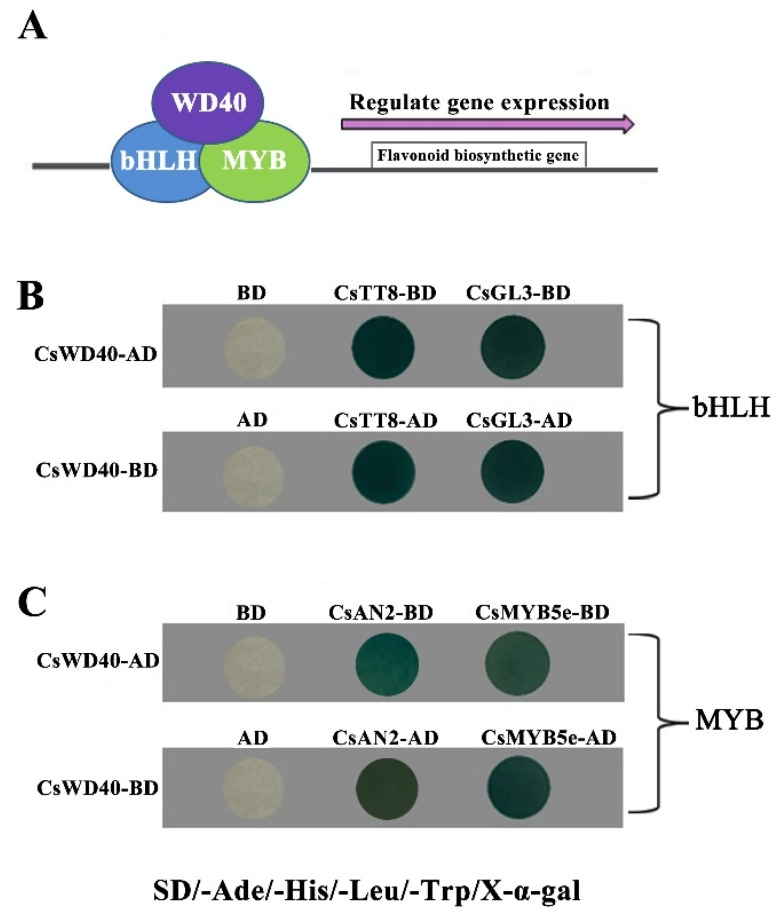 Protein interactions between CsWD40 and other transcript factors from tea plants by two-hybrid system. ( A ) A model pattern of the MYB–bHLH–WD40 ternary complex. ( B ) Protein–protein interactions between CsWD40 and bHLH transcript factors (CsTT8 and CsGL3) from tea plants by two-hybrid system. ( C ) Protein–protein interactions between Cs WD40 and MYB transcript factors (CsAN2 and CsMYB5e) from tea plants by two-hybrid system.