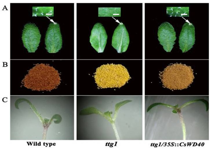 CsWD40 complements the phenotypes of Arabidopsis ttg1 mutant. ( A ) Leaf trichome occurrence. Bar = 0.5mm ( B ) Seed coat pigmentation. ( C ) Trichome seedling.