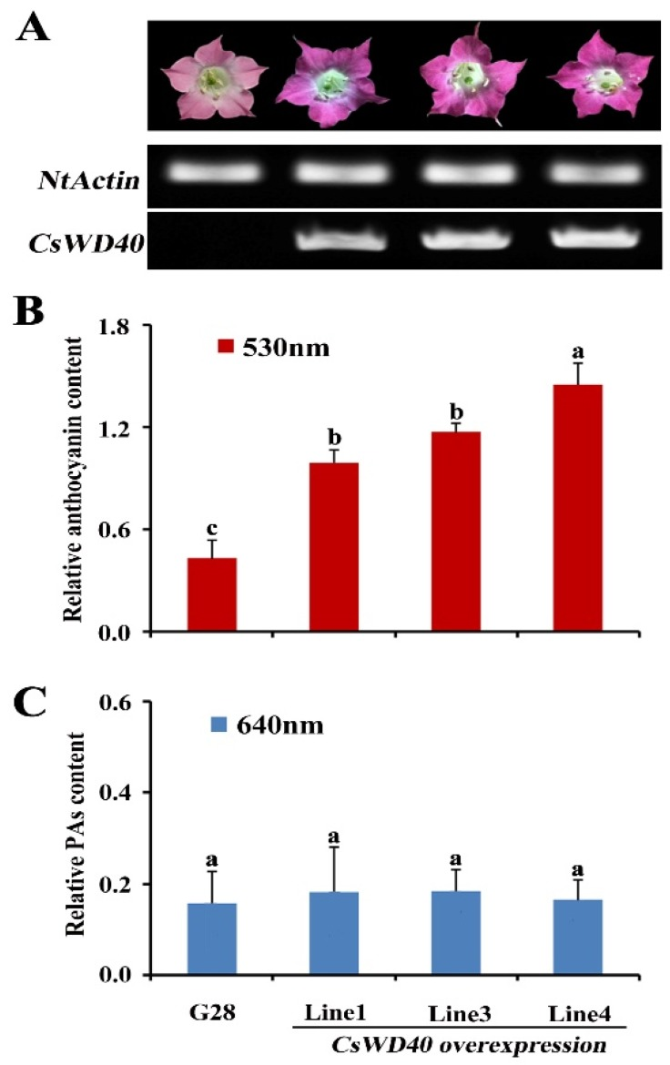 Identification of the CsWD40 function in transgenic tobacco. ( A ) Analysis of CsWD40 transcription levels in the flowers by semiquantitative PCR. ( B ) Relative content of anthocyanin in the flowers of CsWD40 overexpressing tobacco. ( C ) Relative soluble proanthocyanidin content in the flowers of CsWD40 overexpressing tobacco. All data are the means of three biological replicates, and the error bars represent the standard deviation of three replicates. Statistical significance was analyzed using ANOVA software (ANOVA ALL MAC VERSION 2.0, Thomas Hanson, OR, USA). Means followed by the same letter are not significantly different ( p > 0.05).
