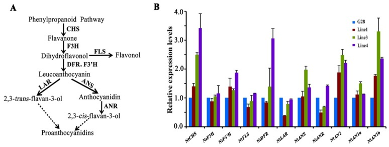 Expression of genes involved in flavonoid biosynthesis in the flowers of CsWD40-overexpressing tobacco plants. ( A ) A schematic diagram of flavonoid biosynthetic pathway. ( B ) Expression profiles of genes in flavonoid pathway in flowers of transgenic CsWD40 tobacco lines. CHS, chalcone synthase; F3H, flavanone 3-hydroxylase; F3′H, flavonoid 3-hydroxylase; DFR, dihydroflavonol reductase; ANS, anthocyanidin synthase; ANR, anthocyanidin reductase; FLS, flavonol synthase; AN2, N. tabacum Anthocyanin 2; AN1a, N. tabacum Anthocyanin 1a; AN1b, N. tabacum Anthocyanin 1b.