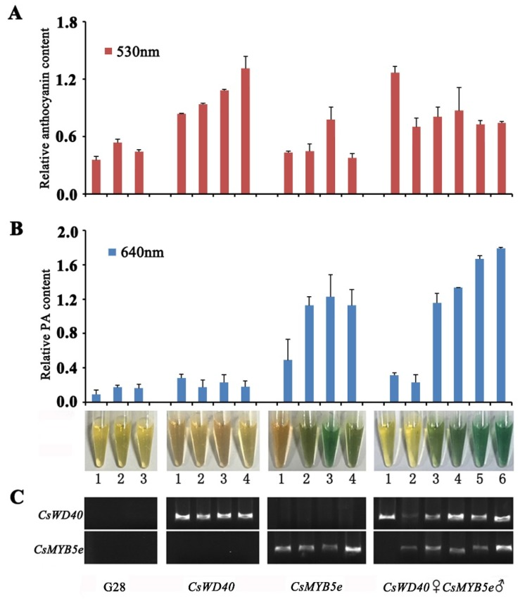 Anthocyanin and proanthocyanidin accumulation variated in petals of co-overexpressing CsWD40 and CsMYB5e transgenic tobacco. ( A ) The relative content of anthocyanin was calculated on the record of absorbance at 530 nm. ( B ) The relative content of proanthocyanidin was calculated on the record of absorbance at 640 nm after reaction with DMACA regent. ( C ) RT–PCR determination of the CsWD40 and CsMYB5e expression levels in CsWD40 , CsMYB5e , and CsWD40 ♀ CsMYB5e ♂ transgenic tobacco flowers. All the data were present based on three biological and technical repeats.