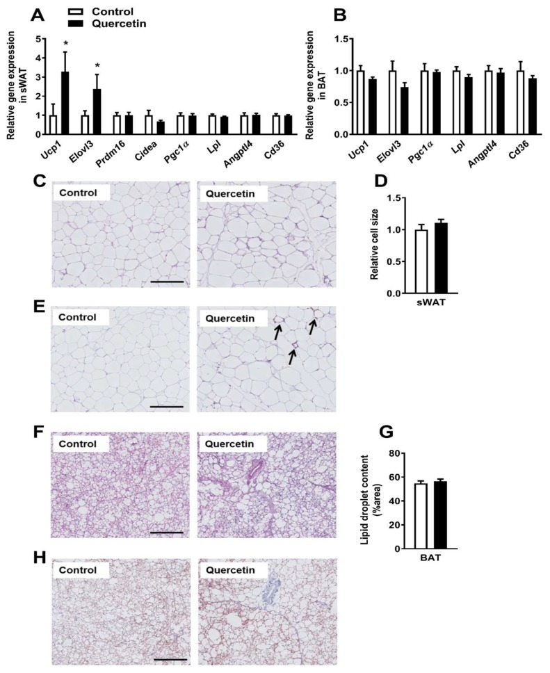 Quercetin increases uncoupling protein-1 ( Ucp1) gene expression specifically in subcutaneous white adipose tissue. Gene expression in sWAT ( A ) and BAT ( B ) was determined by <t>qRT-PCR.</t> Hematoxylin and eosin (H E) staining was performed on paraffin-embedded sWAT sections, and representative pictures are shown ( C ). Pictures were analyzed in ImageJ to determine the relative cell size ( D ). sWAT sections were stained for UCP-1 (arrows indicate UCP-1 positive cells, E ) as well. BAT sections were stained for H E ( F ) and used to quantify lipid droplet content in ImageJ ( G ). BAT sections were also stained for UCP-1 ( H ). Data are represented as mean ± SEM ( n = 8–10); the expression of genes was corrected for the reference gene β 2-microglobulin (sWAT), Gapdh , and Hprt (BAT), * p