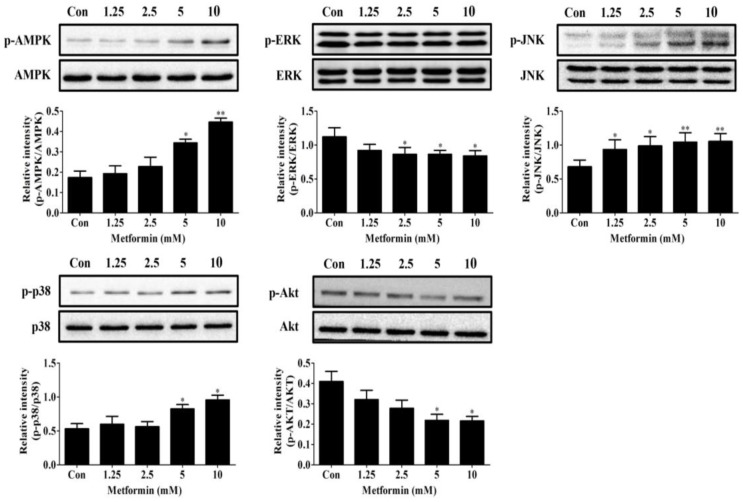 Dose response of 1.25–10 mM of metformin on phosphorylation of AMPK, Akt, and MAPKs in 3T3-L1 preadipocytes. Cells were cultured in differentiation medium containing 0, 1.25, 2.5, 5, or 10 mM of metformin for 15 min to examine AMPK, p38, JNK, and Akt activation and for 30 min to examine ERK activation. Results were quantified using densitometry analysis and normalized to total MAPKs, Akt, or AMPK accordingly ( n = 3). Data represent the means ± SEM from three experiments. * p