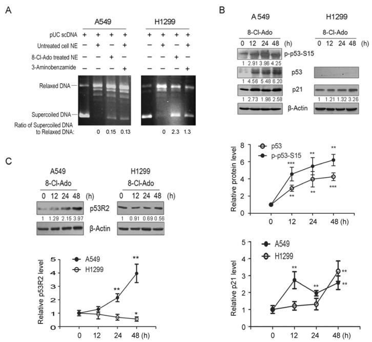 """Effects of 8-Cl-Ado on DNA relaxation and on p53, p21 and p53R2 expression. ( A ) A549 and H1299 <t>cells</t> were exposed to 2 μM 8-Cl-Ado for 48 h, and nuclear <t>extracts</t> (NE) were prepared. Relaxation activities in NE were tested by incubating with supercoiled pUC19 DNA in the reaction conditions as indicated on the top. After ethanol precipitated, extracted DNA samples were subjected to 1% agarose gel electrophoresis. The pUC19 DNA is used as markers for supercoiled and relaxed DNA; ( B , C ) <t>Western</t> <t>blotting</t> for p53, p21 and p53R2 expression. β-Actin as a loading control. The numbers below the blots and histograms in lower panels show the relative levels of p53, p21 and p53R2 in Western blotting. The ratio of target protein/Actin from control cells was designated as """"1"""". * p"""