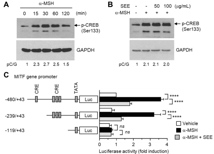 Effect of SEE on the inhibition of α-MSH-induced  MITF  promoter activity. ( A ) B16F10 cells were treated with 100 nM α-MSH for various times (0–120 min), and cell lysates were subjected to immunoblotting using an antibody against phospho-cAMP response element-binding protein (CREB) (Ser133). The glyceraldehyde 3-phosphate dehydrogenase (GAPDH) level was examined as an internal control. ( B ) B16F10 cells were treated with either vehicle (DMSO) or SEE (50 or 100 μg/mL) for 30 min, followed by stimulation with 100 nM α-MSH. After 30 min, cell lysates were subjected to immunoblotting using an antibody against phospho-CREB (Ser133). The GAPDH level was examined as an internal control. The intensity of the bands was quantified using ImageJ and the relative p-CREB intensity was normalized to that of GAPDH and visualized in the blot. pC/G, p-CREB/GAPDH. ( C ) B16F10 cells were transfected with 0.2 µg of a series of 5′-deletion constructs of the  MITF  gene promoter reporter plasmids. Forty-eight hours later, the cells were treated with either vehicle (DMSO), 100 nM α-MSH, or α-MSH plus 50 μg/mL SEE for 8 h, and the luciferase activities were measured. The data shown represent the mean ± SD ( n  = 3). ****  p