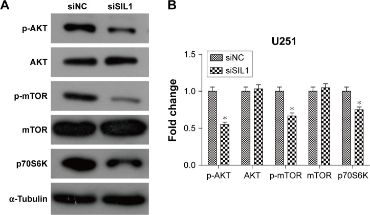 Downregulation of SIL1 inhibited AKT/mTOR signaling pathway. ( A ) Western blot image and ( B ) quantification analysis indicated that siSIL1 reduced the phosphorylation level of AKT and mTOR without affecting protein expression, as well as decreasing expression of the downstream effector p70S6K. Protein expression was normalized to siNC group. Note: * P