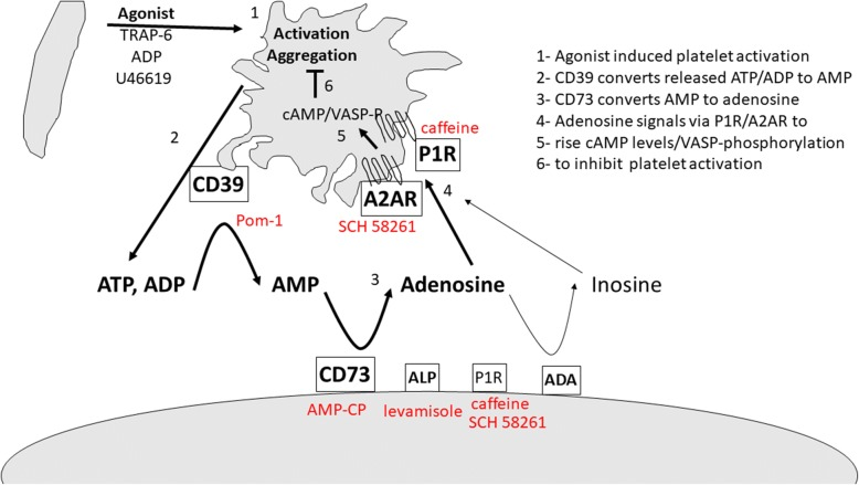 Graphical summary of results. Upon agonist-induced platelet activation, <t>ATP</t> and <t>ADP</t> are released. These are converted to AMP by platelet CD39 activity. AMP is converted to adenosine by MSC-expressed CD73 and to a low extent by alkaline phosphatase. Adenosine signals vial A2AR and other P1 receptors to raise cAMP levels and to induce VASP phosphorylation. This reduces further platelet activation. Used inhibitors indicated in red. ADA adenosine deaminase, ADP adenosine diphosphate, ALP alkaline phosphatase, AMP adenosine monophosphate, ATP adenosine triphosphate, TRAP thrombin receptor activator for peptide, VASP vasodilator-stimulated phosphoprotein