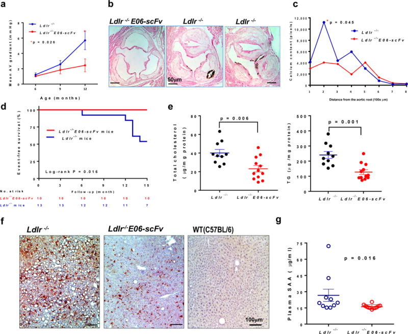E06-scFv decreases early aortic valve stenosis, hepatic steatosis, and systemic inflammation a, b, Ldlr −/− (n=11) and Ldlr −/− / E06-scFv (n=10) mice were fed HCD for 15 months and prospectively examined at 3 time points for aortic valve hemodynamics. a , Mean pressure gradients across the aortic valve, determined by Doppler echocardiography. At 12 months there was a 49% lower mean gradient in the Ldlr −/− / E06-scFv mice (2.4±1.9mmHg vs. 4.8±2.4mmHg, mean±SD, p = 0.026, Ldlr −/− / E06-scFv (n=10) and Ldlr −/− (n=9). c, d , Calcification in aortic valve leaflets was determined by von Kossa staining of serial aortic valve sections and AUC compared. AV calcium was reduced in Ldlr −/− / E06-scFv mice by 41.5% (p=0.045, one-tailed-t-test, Ldlr −/− / E06-scFv (n=9) and Ldlr −/− (n=8)). e , Survival of mice used in AV hemodynamic study over 15 months. f , Hepatic cholesterol and triglyceride (TG) levels were reduced by 42% and 47% respectively in Ldlr −/− /E06-scFv mice, Ldlr −/− (n=10) and Ldlr −/− / E06-scFv (n=12) mice g , Livers of mice fed HCD for 16-wks were immunostained with biotinylated E06 IgM (brown) and compared to chow-fed C57BL/6 mice. Shown are representative photomicrographs, representative of 7 Ldlr −/− , 7 Ldlr −/− / E06-scFv and 3 WT (C57BL/6) mice. h , Plasma serum amyloid A (SAA) was decreased 32% in HC fed Ldlr −/− / E06-scFv mice ( Ldlr −/− (n=10) and Ldlr −/− / E06-scFv (n=12) mice).
