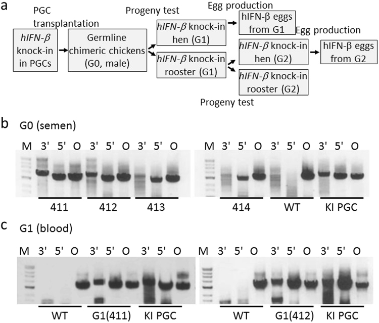 CRISPR/Cas9-mediated knock-in of hIFN- β at the chicken OVA locus. ( a ) Schematic of the experimental procedure that generated hIFN- β KI chickens. ( b ) KI hIFN- β in semen of chimeric G0 roosters. Genomic DNA from the sperm of four chimeric roosters (411–414) and a WT rooster was PCR amplified with primer pairs P5/P8, P1/P4, and P1/P9 for the 3′ and 5′ assays and the endogenous OVA assay (O), respectively. Genomic DNA from transplanted PGCs containing hIFN- β KI cells (KI PGC) was also PCR amplified. The gels show the PCR-amplified products. ( c ) KI hIFN- β in the G1 chickens. Genomic DNA from the blood of the G1 progenies of #411 (left panel) and #412 (right panel) was PCR amplified for the 3′, 5′, and endogenous OVA assays using primer pairs P5/P8, P1/P4, and P1/P9, respectively. The genomic DNA from the blood of WT chickens and from the transplanted PGCs (KI PGC) was also PCR amplified. The gels show the PCR-amplified products. The lanes at the left of each gel panel are the DNA molecular mass markers as described in Fig. 1.