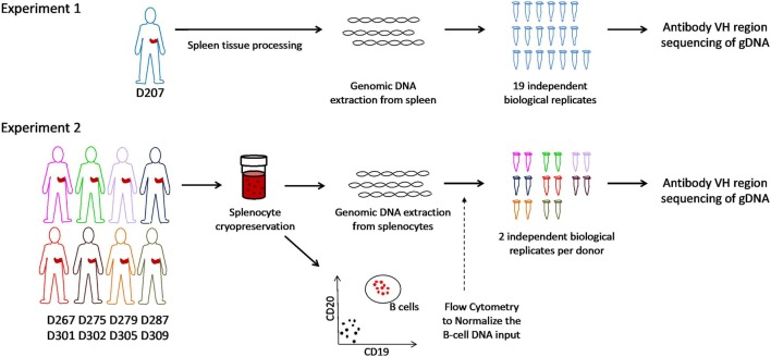 Schematic of experiments. In experiment 1, genomic DNA is extracted from spleen tissue of an organ donor. Immunoglobulin heavy chain gene rearrangements were amplified and sequenced from genomic DNA in 19 biological replicates. In experiment 2, splenocytes from eight different organ donors were cryopreserved at the time of organ recovery. All samples were thawed on the same day and analyzed for the B cell fraction by flow cytometry. Genomic DNA (normalized for the B cell fraction) was separately amplified and sequenced (two biological replicates per subject).