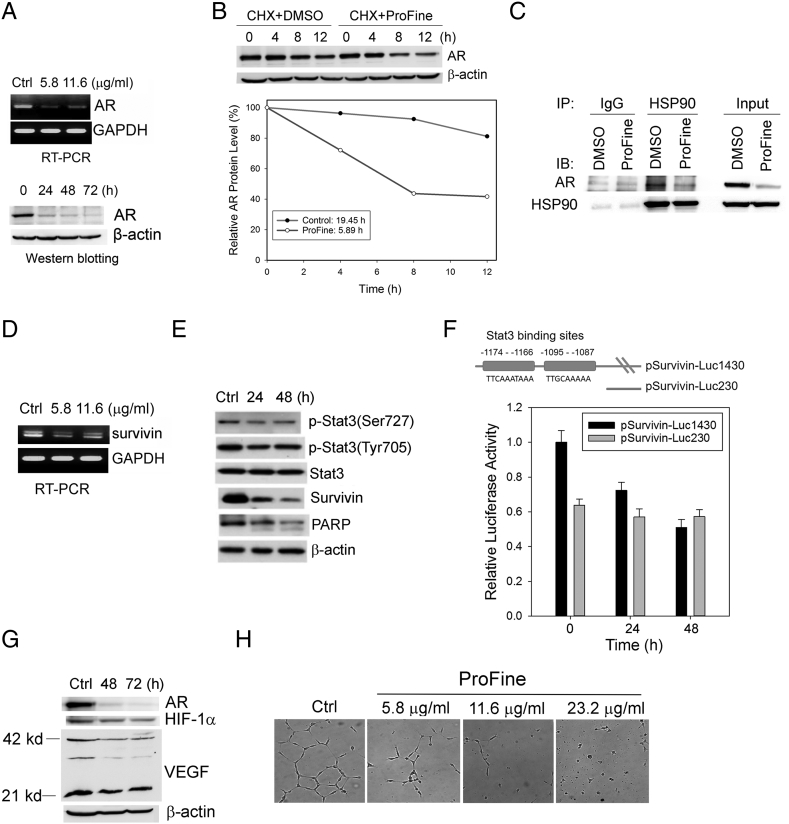 ProFine inhibits AR and survivin signaling in PCa cells. (A) RT-PCR (upper, 24 hours treatment) and Western blot analyses (bottom, 11.6 μg/ml) of AR expression in C4-2 cells treated with ProFine. (B) Upper: Western blot analysis of AR protein expression in C4-2 cells pretreated with CHX (50 μg/ml, 1 hour) and further treated with ProFine (11.6 μg/ml) or DMSO for the indicated times. Lower: Plot of AR protein degradation in C4-2 cells treated with ProFine or DMSO. (C) Western blot analysis of AR protein expression in HSP90 immunoprecipitates from C4-2 cells treated with ProFine (11.6 μg/ml, 24 hours) or DMSO. (D) RT-PCR analysis of survivin expression in C4-2 cells treated with ProFine (24 hours); (E) Western blot analysis of p-Stat3, Stat3, survivin, and PARP in C4-2 cells treated with ProFine (11.6 μg/ml) at indicated times. (F) Upper: Schematic diagram of the Stat3 cis -elements in human survivin promoter; lower: luciferase activity of human survivin promoters in C4-2 cells treated with ProFine (11.6 μg/ml). (G) Western blot analysis of protein expression of AR, HIF-1α, and VEGF in C4-2 cells treated with ProFine (11.6 μg/ml). (H) In vitro tube formation of HUVECs treated with varying concentrations of ProFine (72 hours).
