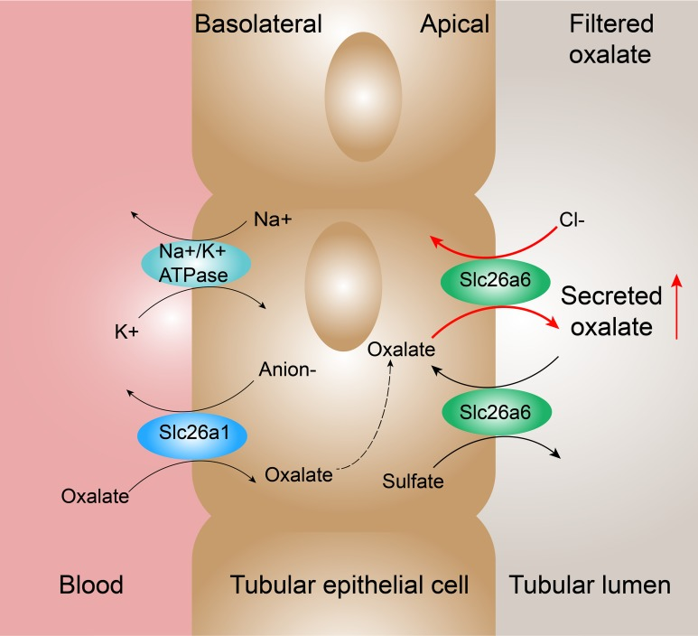 Proposed mechanisms of oxalate transport across the renal epithelium in the proximal tubule. In the renal proximal tubule cells, oxalate transport is associated with Slc26a1 expressed on basolateral membrane and Slc26a6 expressed on apical membrane. Slc26a1 mediates the uptake of oxalate in exchange for reabsorbed sulfate (or Cl − or HCO 3 − ). The high expression of Slc26a6 mediates more secretion by oxalate–Cl − exchange and reabsorption by sulfate–oxalate exchange. According to the results, oxalate–Cl − exchange possessed a dominant position resulting in the enhanced net secretion of oxalate.