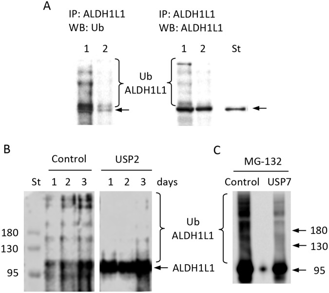 ALDH1L1 is ubiquitinated in NIH3T3 cells. A , ALDH1L1 pulled-down from NIH3T3 cell lysates using ALDH1L1-specific antibody and protein A beads; elution with glycine buffer ( lane 1 ), followed by elution with SDS-PAGE loading buffer ( lane 2 ). Proteins were resolved on a 7.5% SDS-PAGE gel followed by Western blot assay with ubiquitin-specific antibody ( left panel ) or ALDH1L1-specific antibody ( right panel ). Lane St is purified recombinant ALDH1L1. B , ALDH1L1 was immunoprecipitated from NIH3T3 cell lysates using an ALDH1L1-specific antibody and Protein A Magnetic beads; samples were resolved on a 7.5% SDS-PAGE followed by Western blot assay with anti-ubiquitin monoclonal antibody. Cells were harvested at different time points after splitting (as indicated); lysates were treated with deubiquitinase inhibitor (4.0 μM recombinant human ubiquitin aldehyde C-terminal derivative) prior to immunoprecipitation. After immunoprecipitation, eluates were treated with deubiquitinase (200 nM of recombinant human USP2 catalytic domain); control , untreated lysates. C , ALDH1L1 was immunoprecipitated from NIH3T3 cells as in B and treated with USP7. Cells were treated with 10 μM MG-132 for 4 h before the pull-down. After treatment with USP7, we have repeated the pull-down with ALDH1L1-specific antibody and detected ubiquitinated species as in B .