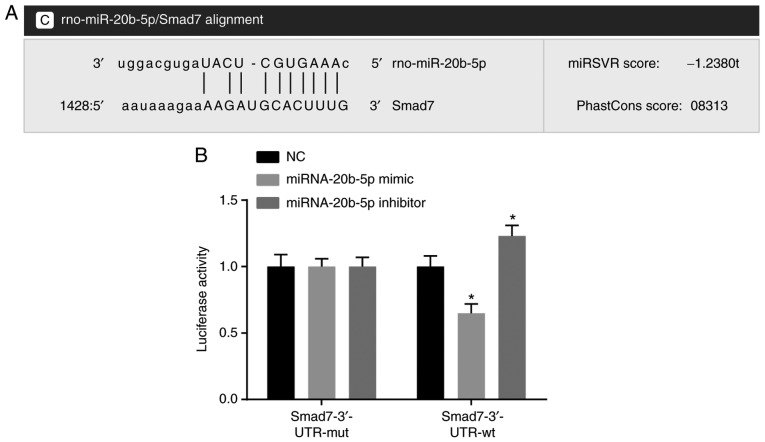 Target association verification between miR-20b-5p and Smad7. (A) Predicted binding site of miR-20b-5p in the Smad7 3′UTR. (B) Detection of luciferase activity by dual luciferase reporter gene assays. * P