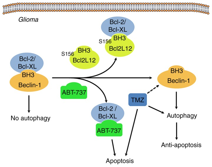 Proposed mechanism of Ser156 phosphorylation as an allosteric site to modulate a BH3-like domain on BCL2L12 in glioma cells. When BCL2/BCL-XL interacts with the Beclin-1 BH3 domain, autophagy is inhibited. Overexpression of BCL2L12 may displace Beclin-1 in integrating with BCL2/BCL-XL via its BH3-like domain, leading to release of Beclin-1 and initiation of the autophagy process. In addition, since BCL2L12 occupies the hydrophobic groove of BCL2/BCL-XL, BH3 only BCL2 activator or sensitizer is unable to gain access, and the gross result of anti-apoptosis is observed. The BH3 domain mimetic agent, ABT-737, also binds to BCL2/BCL-XL, and hence competes and disrupts the interaction between BCL2/BCL-XL and BCL2L12, making tumor cells more vulnerable to apoptosis. Of note, GSK3β-mediated BCL2L12 S156 phosphorylation may affect BH3 domain function in glioma cells. BCL2L12, BCL2-like 12; BCL2, BCL2 apoptosis regulator; BCL-XL, BCL-extra large; GSK3β, glycogen synthase kinase 3β.