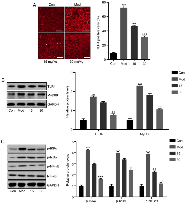 Breviscapine ameliorates CCl 4 -induced liver injury by via suppression of TLR4/NF-κB signaling. (A) Immunofluorescence microscopy was performed to explore the TLR4 intensity in the liver sections of mice after CCl 4 induction. Scale bar, 100 µ m. (B) TLR4 and MyD88 protein levels were calculated by western blot analysis, displayed with the representative images and quantified levels. (C) Phosphorylated IKKα, IκBα and NF-κB levels were determined by immunoblot analysis. The quantified levels were also displayed. Values are expressed as the mean ± standard error of the mean (n=10). *** P