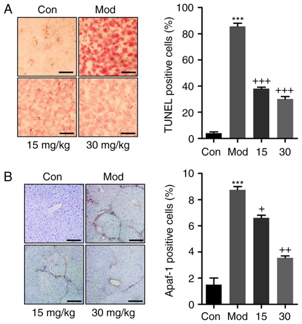 Breviscapine reduces apoptosis the liver of mice treated with CCl 4 . (A) TUNEL analysis was used to assess apoptosis in CCl 4 -induced livers in mice after Breviscapine administration. Scale bar, 100 µ m. (B) Apaf-1 positive cells were calculated in the liver sections of mice. Scale bar, 100 µ m. Values are expressed as the mean ± standard error of the mean (n=10). *** P
