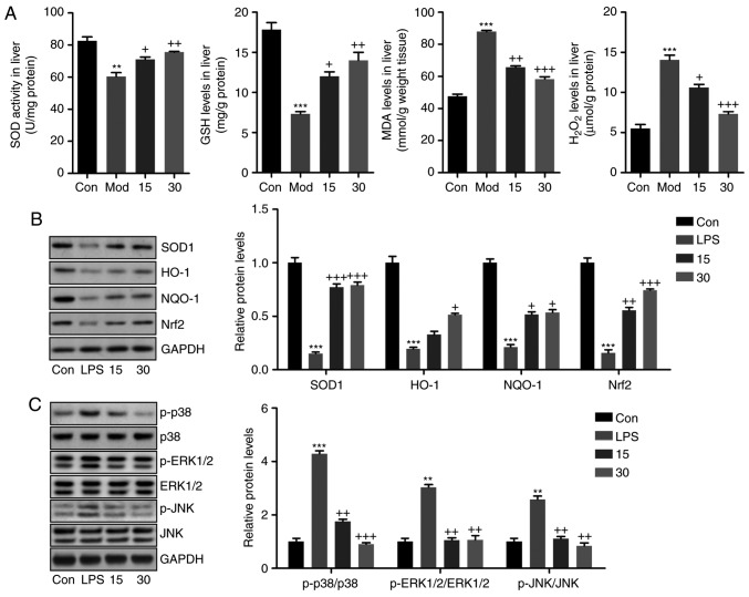 Breviscapine reduces oxidative stress in the livers of mice induced with CCl 4 . (A) Liver SOD activity, GSH levels, MDA levels and H 2 O 2 levels were measured. (B) Western blot analysis was used to determine SOD1, NQO-1, HO-1 and Nrf2 protein expression levels in the liver tissue samples. (C) p-p38, p-ERK1/2 and p-JNK protein levels in liver samples were calculated using western blot assays. Values are expressed as the mean ± standard error of the mean (n=8). ** P