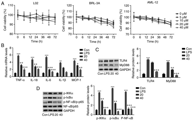 Breviscapine suppresses the inflammatory response in L02 cells stimulated with LPS in vitro . (A) The normal liver cell lines of L02, BRL-3A and AML-12 were treated with breviscapine at different concentrations (0, 5, 10, 20 and 40 µ M) for various durations ranging from 0-72 h. The cell viability was measured by a cell counting kit-8 assay to evaluate the cytotoxicity of breviscapine to liver cells. In addition, L02 cells were exposed to 100 ng/ml LPS for 24 h in the absence or presence of breviscapine (20 or 40 µ M). (B) The pro-inflammatory cytokines TNF-α, IL-6, IL-1β and IL-18, and the chemokine MCP-1 were assessed by reverse transcription-quantitative polymerase chain reaction analysis. (C) Western blot analysis was used to evaluate TLR4 and MyD88 levels in L02 cells after various treatments. (D) IKKα, IκBα and NF-κB (p65) phosphorylation were examined by immunoblotting analysis. Representative western blot images and quantified protein levels are provided. Values are expressed as the mean ± standard error of the mean (n=8). * P