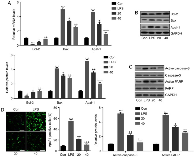 Breviscapine reduces LPS-induced apoptosis in L02 cells. (A) Reverse transcription-quantitative polymerase chain reaction analysis was used to determine the levels of Bcl-2, Bax and Apaf-1 in LPS-treated L02 cells in the presence or absence of breviscapine. (B) Western blot analysis was performed to determine Bcl-2, Bax and Apaf-1 expression at the protein level. Representative western blot images and quantified protein levels are provided. (C) Apaf-1 positive cells were examined by immunofluorescence analysis among L02 cells exposed to LPS with or without breviscapine treatment (20 or 40 µ M). Scale bar, 50 µ m. (D) Active caspase-3 and PARP protein levels were assessed by western blot analysis. Representative western blot images and quantified protein levels are provided. Values are expressed as the mean ± standard error of the mean (n=10). ** P