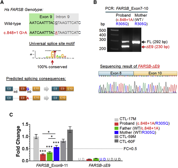 The c848+1G > A Intronic Mutation Resulted in Aberrant Splicing of FARSB (A) The mutation of the universal splice site motif is expected to affect the splicing of nearby exons in the FARSB gene, such as skipping of the adjacent exon 9. (B) A splice variant that deleted exon 9 of the FARSB _FL transcript, designated as FARSB -ΔE9, was detected in the proband but not in the mother. (C) Quantitative real-time PCR analysis of mRNA expressions of FARSB _E9-11 (using primers targeting exons 9 and 11 of FARSB , thus primarily detecting the full-length transcript), and FARSB -ΔE9 (using primers specifically amplifying the ΔE9 variant) in primary fibroblasts. Gene expression of FARSB _E9-11 and -ΔE9 in the fibroblasts of the proband, both parents, and three control subjects were calculated based on Ct values normalized to house-keeping genes RPL9 and RPS11 . The fold changes were thus calculated by relative to the FARSB _E9-11 level of CTL-17M. Data were presented as mean ± SEM. The ΔE9 RNA was detected only in the proband and father cells but not in the mother and control subjects (U.D. denotes no detectable amplification within 45 qPCR cycles).