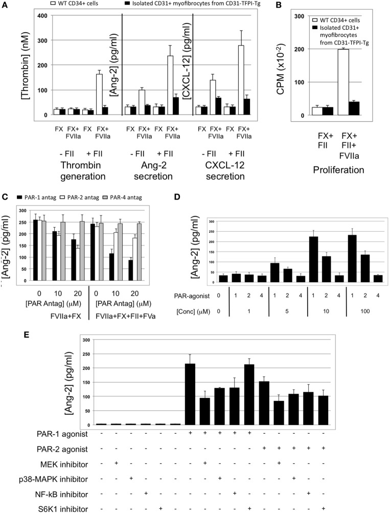Impact of coagulation proteases on myofibrocyte phenotype. In (A,B) , responses of wild-type (WT) CD34+ cells are shown as white bars, whereas isolated CD31+ myofibrocytes from CD31-TFPI-Tg mice are shown as black bars. (A) Cells were incubated with FX in presence or absence of FVIIa and FII (prothrombin) plus FVa. Functional tissue factor on WT cells is illustrated by thrombin generation, angiopoietin-2 (Ang-2) secretion, and CXCL-12 secretion. The presence of human tissue factor pathway inhibitor on purified CD31+ myofibrocytes from CD31-TFPI-Tg mice significantly inhibits all three phenotype changes. (B) Proliferation, assessed by 3 H-thymidine incorporation and expressed as counts per minute (CPM) after incubation with FX and FII in presence of FVIIa. (C) Angiopoietin-2 secretion by WT CD34+ cells (3 × 10 4 /well) after 24 h incubation with either PAR-1 antagonist (black bars), PAR-2 antagonist (white bars), or PAR-4 antagonist (gray bars) at the indicated concentrations for 30 min before addition of FVIIa with FX (both 10 nM) with or without prothrombin (4 nM) and FVa (6 nM) as indicated. All conditions performed in triplicate wells. Error bars indicate SEM. In comparison of increasing concentrations of antagonists with FVIIa + FX, p = 0.027 for PAR2, but p = NS for PAR1 and PAR4. In comparison of increasing concentrations of antagonists with FVIIa + FX + FII + FVa, p = 0.05 for PAR1, but p = not significant (NS) for PAR2 and PAR4. Analysis by one-way ANOVA Kruskal–Wallis test. (D) Angiopoietin-2 secretion by WT CD34+ cells (3 × 10 4 /well) after 24 h incubation with PAR-1, -2, or -4 agonists at the indicated concentrations. All conditions performed in triplicate wells. Error bars indicate SEM. p = 0.017 for comparisons of increasing concentrations of PAR1 agonist, p = 0.012 for PAR2, but p = NS for PAR4 agonist. Analysis by one-way ANOVA Kruskal–Wallis test. (E) Dissection of signaling pathways involved in angiopoietin-2 secretion by WT CD34+ cells induced by 