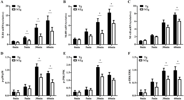 qRT-PCR and ELISA testing of expression in sheep monocytes with LPS stimulation. A, B and C show the expression of TLR4 , Myd88 and NF-κB , at 0min, 5 min, 30 min and 60 min after LPS (100 ng/mL) stimulation, respectively. D, E and F show the phosphorylation levels of p38 , JNK , and ERK signaling at 0min, 5 min, 30 min and 60 min after LPS (100 ng/mL) stimulation, respectively. Tg: transgenic sheep; NTg: non-transgenic sheep. All data are presented as the mean ± SEM from three experiments, *P