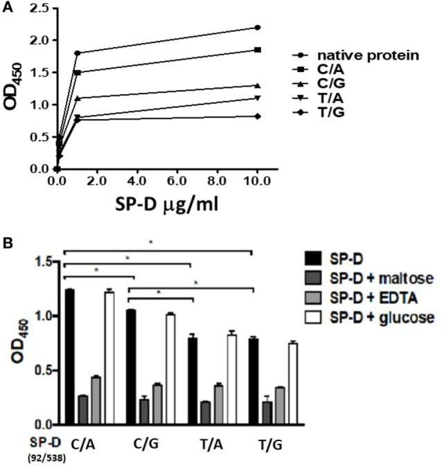(A) Dose-binding curves of native and four genetic variants of recombinant SP-D (rSP-D) proteins to Mycobacterium bovis bacillus Calmette–Guérin ( M. bovis BCG). rSP-D protein (1 and 10 µg/ml) were added to wells coated with ultraviolet-killed M. bovis BCG (10 6 bacteria), then quantitated using solid-phase bacterial ELISA. (B) Inhibition effects of maltose and EDTA on the binding activity of four variants of rSP-D to M. bovis BCG. Surfactant proteins D (SP-D) protein (1 µg/ml) in PBS with 2 mM CaCl 2 was added into M. bovis BCG-coated wells alone, or with 10 mM EDTA, or 100 mM maltose, or 100 mM glucose. The binding activity to M. bovis BCG of rSP-D with residue 11Thr [(92C/538A) and (92C/538G)] was significantly higher than that of rSP-D with residue 11Met [(92T/538A) and (92T/538G)] (* P